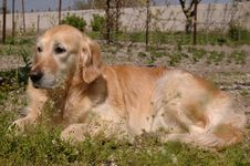 Free Golden Retriever Lying On Backyard Royalty Free Stock Image - 7988546