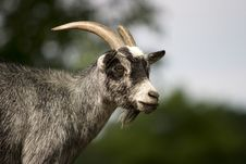Free Goat Royalty Free Stock Photos - 7988618