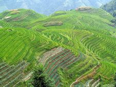 Free Rice Fields 3 Stock Photography - 7988972