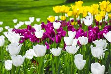 Free Beutiful Tulips In A Field Stock Images - 7989284