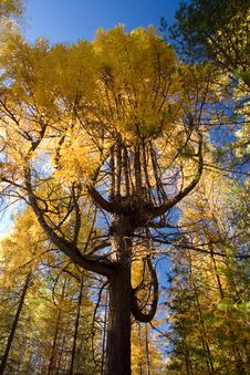 Free A Tree Is A Larch Stock Photos - 7989533