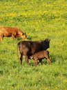 Free Cow And Calf In Field Stock Photography - 7991522