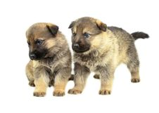 Free Two Sheep-dogs Puppys Stock Photos - 7990353