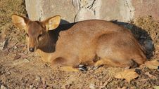 Hog Deer Stock Images