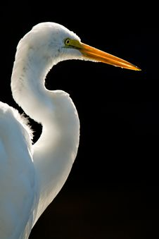 Free Great White Egret Royalty Free Stock Photos - 7990538