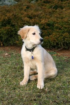 Free Golden Retriever Puppy Stock Photos - 7990663