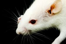 Free White Rat Stock Images - 7990744