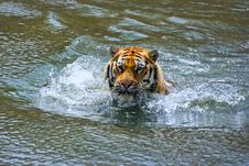 Siberian Tiger In Water Royalty Free Stock Photo