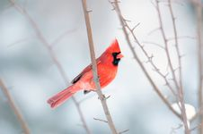 Cardinal Perched In A  Tree Stock Photo