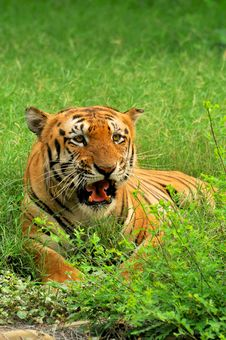 Free Bengal Tiger Stock Photos - 7992083