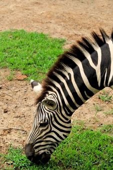 Free Zebra Stock Photo - 7992160