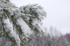 Free Pine Under Snow Stock Images - 7992174