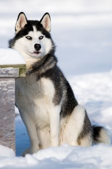 Free Husky Dog Royalty Free Stock Images - 7992819