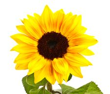 Free Sunflower Royalty Free Stock Image - 7993206