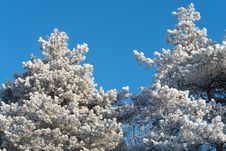 Snow-covered Branches Of Winter Trees Stock Photo