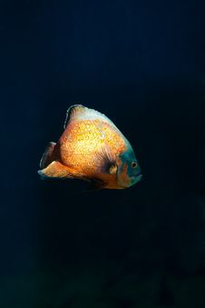 Free Orange Fish Royalty Free Stock Image - 7993986