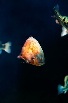 Free Orange Fish Royalty Free Stock Photography - 7993987