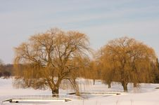 Free Large Willow Trees In Winter Royalty Free Stock Photography - 7994107
