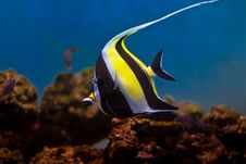 Free Moorish Idol Stock Images - 7994134