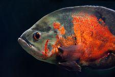 Free Orange Fish Royalty Free Stock Images - 7994169