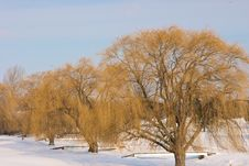 Free Large Willow Trees In Winter Stock Photography - 7994272