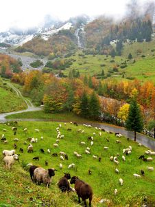 Herd Of Sheep On Color Autumn Meadow Stock Photography