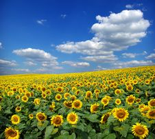 Free Sunflower Field Stock Photo - 7995150