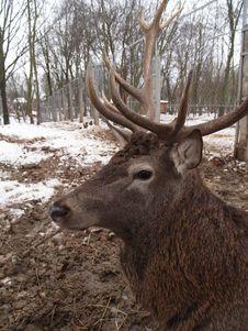 Free Deer Royalty Free Stock Image - 7995986