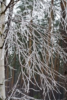 Ice-covered Branches Royalty Free Stock Photography