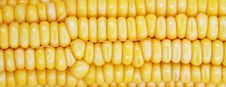 Close Up Of The Corn Cob Stock Images