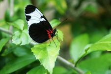 Free Black And White Butterfly Royalty Free Stock Image - 7997266
