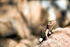 Free Cool Lizard Royalty Free Stock Photography - 7997557