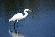 Free Great Egret Royalty Free Stock Photography - 7998007