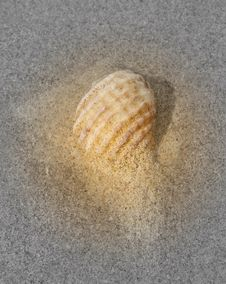 Free Sea Shell Royalty Free Stock Images - 7998069