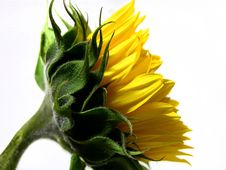 Free Young Sunflower Royalty Free Stock Images - 7998099