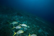 Free Golden Trevally Royalty Free Stock Photography - 7999757