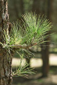 Free Fir Tree Royalty Free Stock Image - 7999876