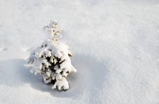 Small Fir-tree Stock Images