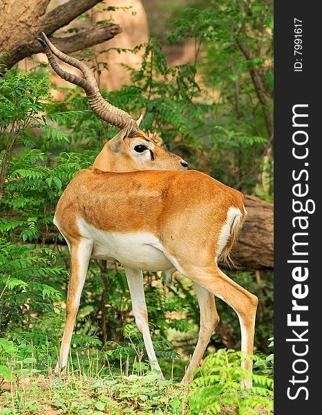 Chinkara Deer - Free Stock Images & Photos - 7991617