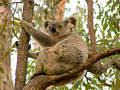 Free Koala Bear Royalty Free Stock Image - 81316