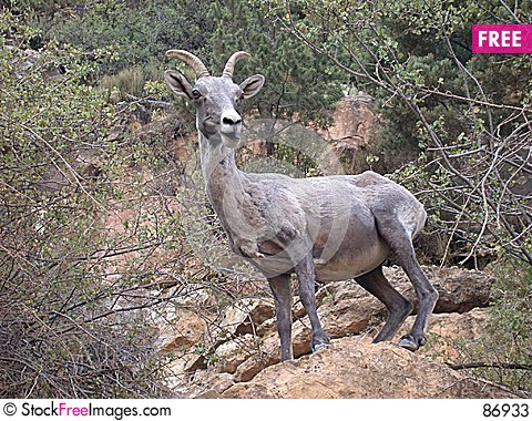 Free Bighorn Sheep At Grand Canyon Stock Photos - 86933