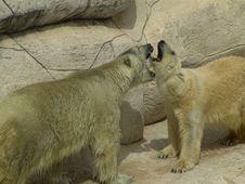 Free Polar Bear Royalty Free Stock Images - 81039