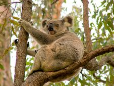 Free Koala Bear Royalty Free Stock Image - 81316
