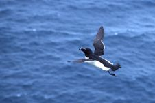 Razorbill Royalty Free Stock Photography