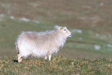 Free White Sheep Royalty Free Stock Images - 81739
