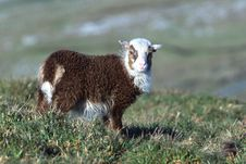 Free Lamb Stock Image - 81741