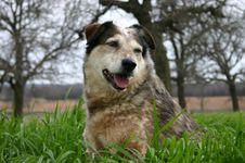 Free Australian Cattle Dog Stock Images - 83044
