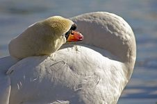 Free Mute Swan Stock Images - 83884