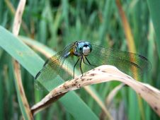 Free Blue Dragonfly Royalty Free Stock Photography - 84707