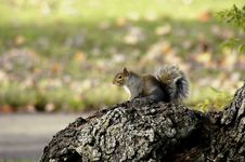 Free Alert Squirrel Stock Photo - 84850
